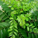 Picture of Curry Leaves (Karapincha)